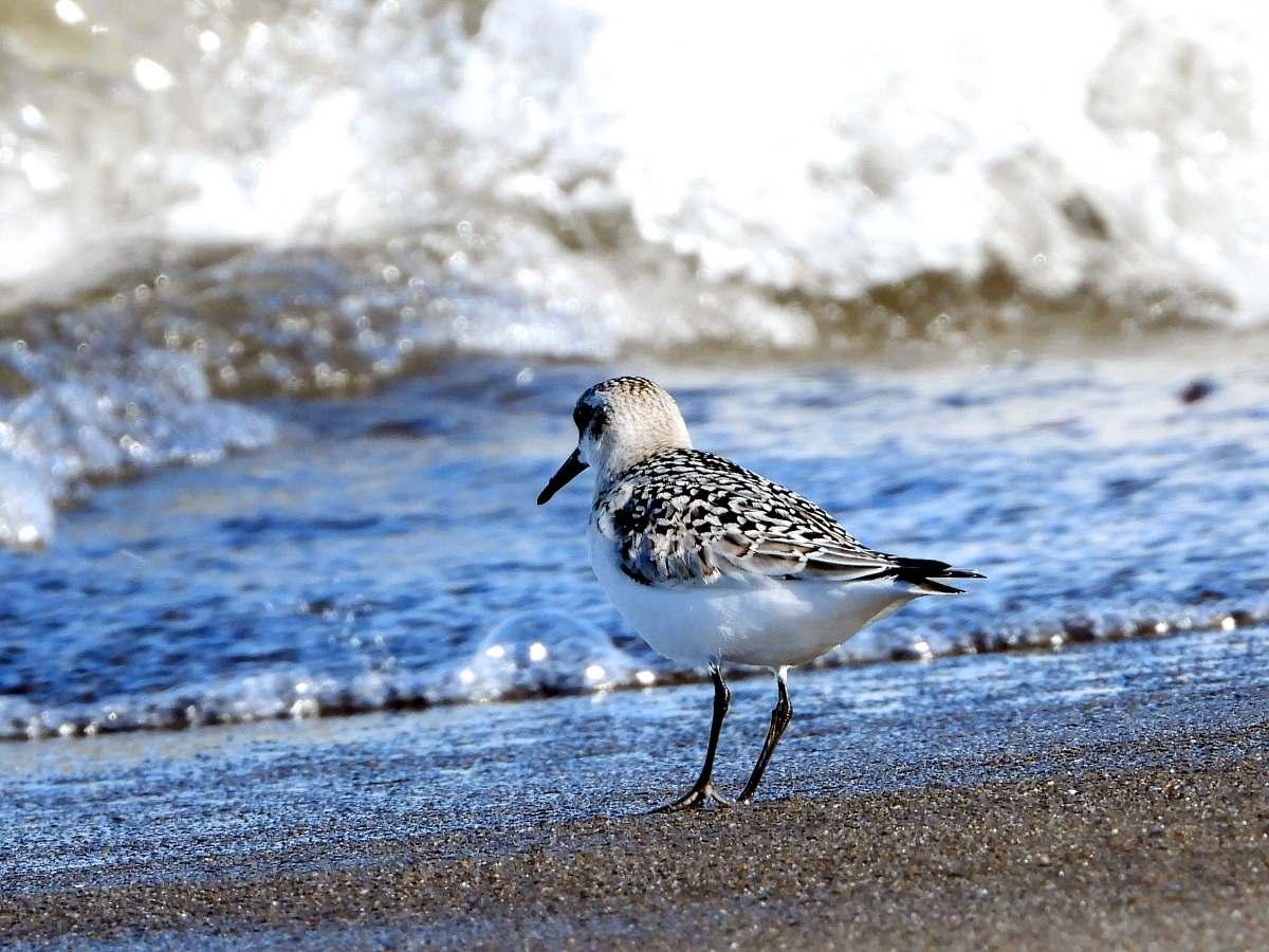 Sandpiper2.jpg